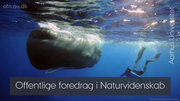 Ny teknik afslører hvalernes skjulte liv – livestream fra Aarhus Universitet