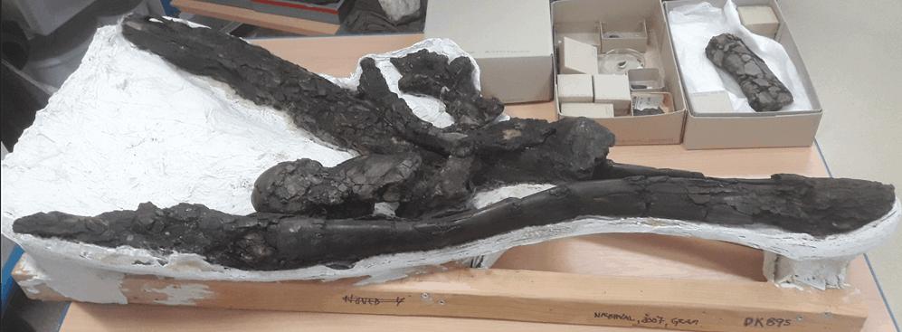 Ny viden om 10 millioner år gammel næbhval fra Gram Lergrav
