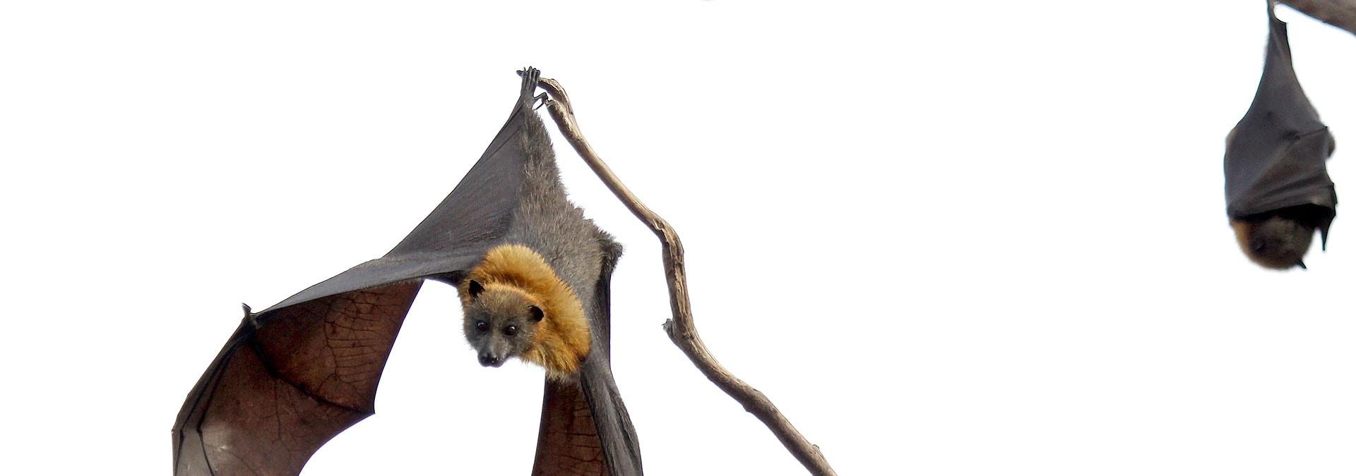 VANDRING: Bat Nat